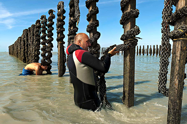 A mussel producer in the Bay of Mont-Saint-Michel laying his ropes on wooden stakes called bouchots.